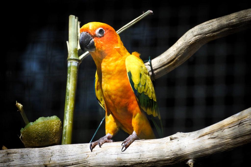 programme élevage perruche conure soleil aratinga solstitialis